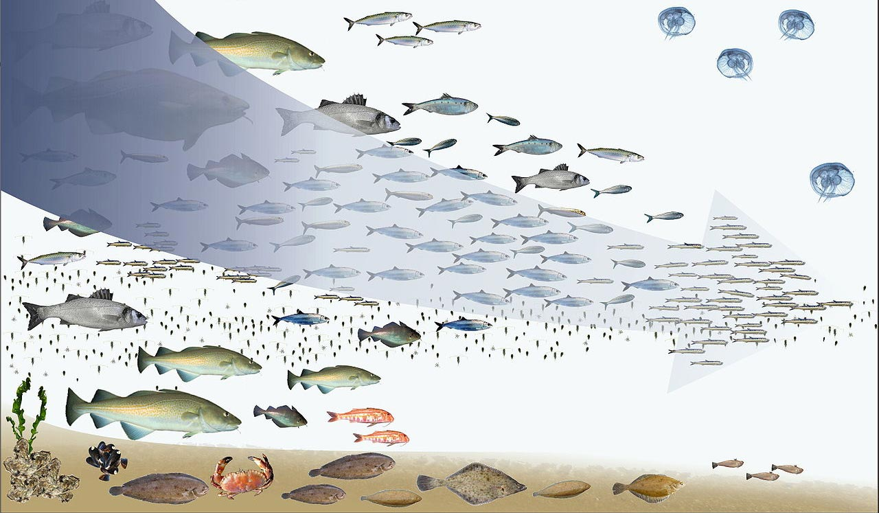 "Fishing down the food web: ""having depleted the large predatory fish on top of the food web, (fisheries) turn to increasingly smaller species, finally ending up with previously spurned small fish and invertebrates."" (Daniel Pauly and Reg Watson)"